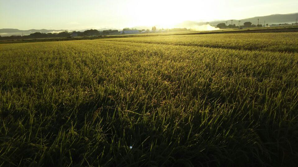 田圃とアサヒ